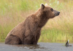Bjørn som bare slapper av