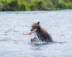 Bjørn som tar laks