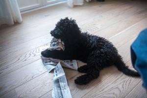 Frøya som spiser avisa
