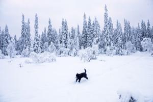 Frøya som løper i vinterskogen