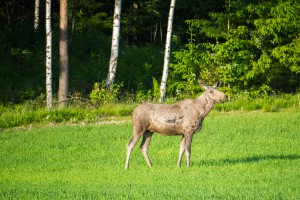 Elg ved Jessheim