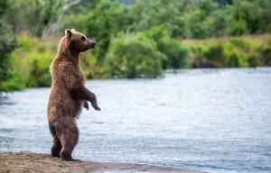 Bjørn som står