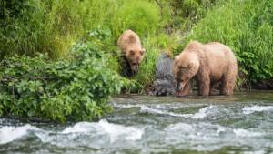 Bjørnebinne med unge